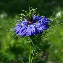 Νιγκελλα η δαμασκηνή - βιολογικός σπόρος (Nigella damascena) 1.95 - 6