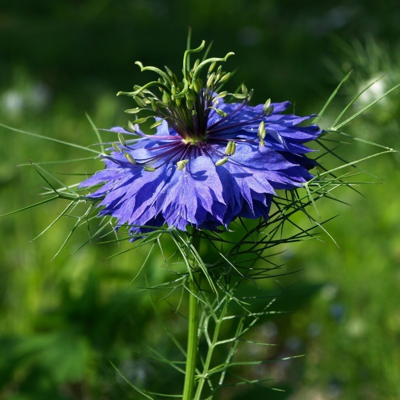 Love-In-A-Mist, Ragged Lady Flower Seeds 1.95 - 6