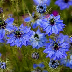 Love-In-A-Mist, Ragged Lady Flower Seeds 1.95 - 2
