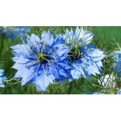 Graines de Nigelle de Damas (Nigella damascena) 1.95 - 3