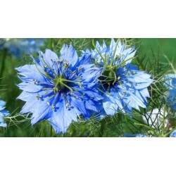 Love-In-A-Mist, Ragged Lady Flower Seeds 1.95 - 3