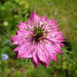 Love-In-A-Mist Multicolor, Ragged Lady Flower Seeds 1.85 - 8