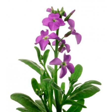 Frön Anis - anis Herb