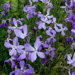 Night Scented Stock Seeds 2.05 - 3