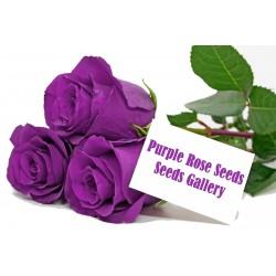 Sementes de Rosa Púrpura