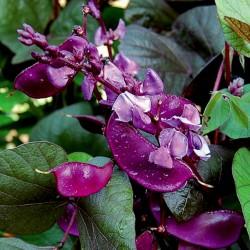 Hyacinth Bean, Lablab-Bean Seeds (Lablab purpureus) 2.049999 - 1