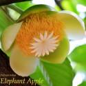 Sementes De Pistacia (Pistacia atlantica)