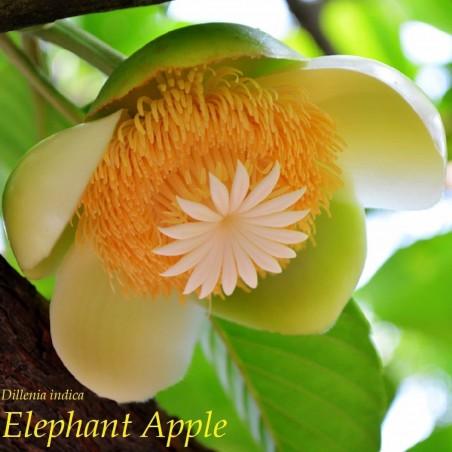 Semillas de Manzana Del Elefante (Dillenia indica) 3.25 - 1