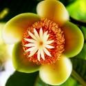 Garcinia Indica Kokum Seme Egzoticno Voce
