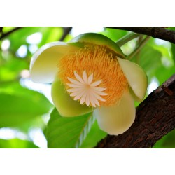 Semillas de Manzana Del Elefante (Dillenia indica) 3.25 - 4