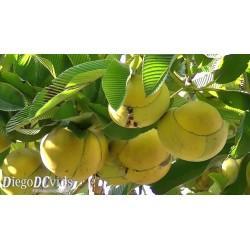 Semillas de Manzana Del Elefante (Dillenia indica) 3.25 - 5