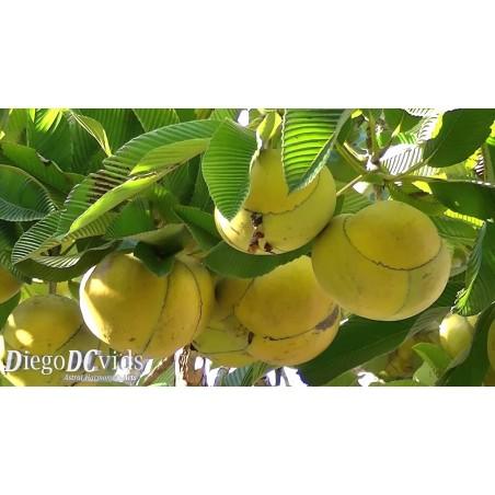 Fröer Mangostan (Garcinia mangostana)