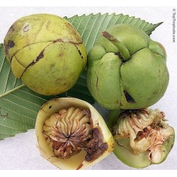 Elephant Apple Seeds (Dillenia indica) 3.25 - 7