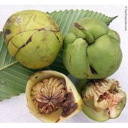 Semillas de Manzana Del Elefante (Dillenia indica) 3.25 - 7