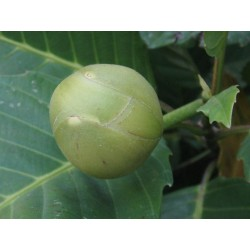 Elephant Apple Seeds (Dillenia indica) 3.25 - 10