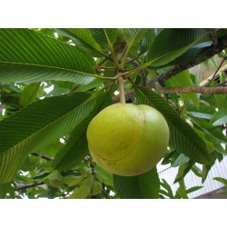 Elephant Apple Seeds (Dillenia indica) 3.25 - 16