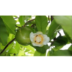 Semillas de Manzana Del Elefante (Dillenia indica) 3.25 - 17