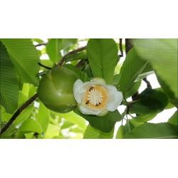 Wasabi – Japanski Ren Seme (Wasabia japonica)
