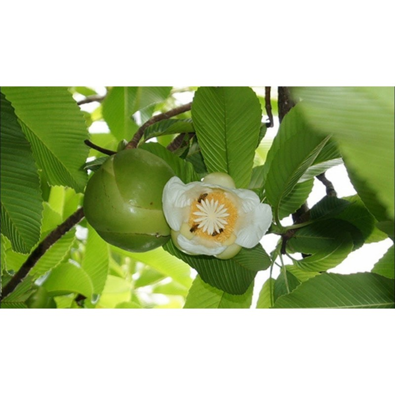 Wasabi Seeds (Wasabia japonica, Eutrema japonicum)