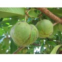 Seme Palme Bermuda Palmetto