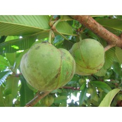 Elephant Apple Seeds (Dillenia indica) 3.25 - 19