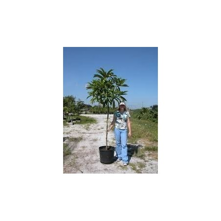 Semillas de Manzana Del Elefante (Dillenia indica) 3.25 - 20