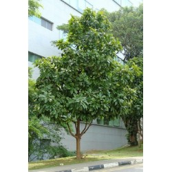 Elephant Apple Seeds (Dillenia indica) 3.25 - 21