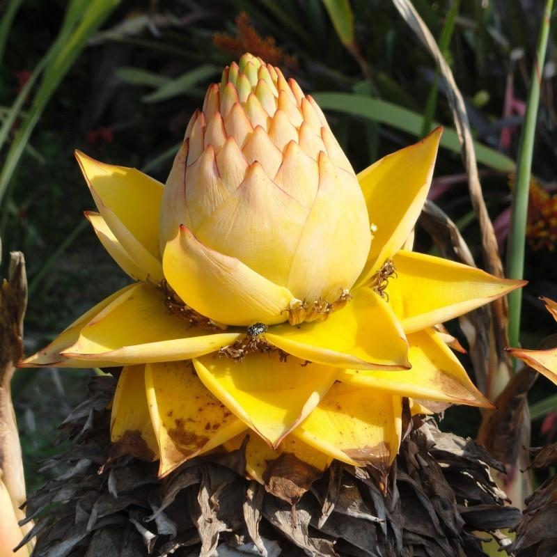 Chinesische Zwergbanane, Golden Lotus Bananensamen 3.95 - 12