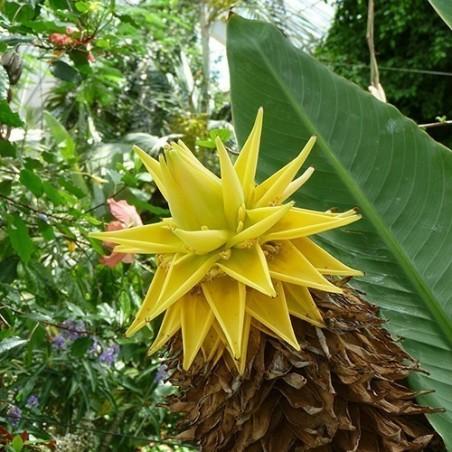 Chinese Dwarf Banana, Golden Lotus Banana Seeds 3.95 - 3