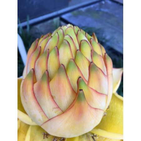 Chinesische Zwergbanane, Golden Lotus Bananensamen 3.95 - 4