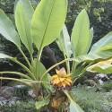 Σπόροι Αγγούρι Sikkim