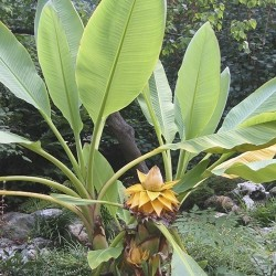 Kineska Patuljasta Banana, Zlatni Lotus Banana Seme 3.95 - 5