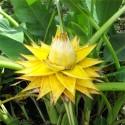 Sementes de pepino Sikkim
