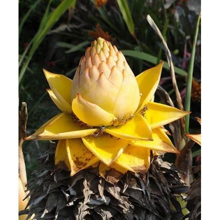 Chinese Dwarf Banana, Golden Lotus Banana Seeds 3.95 - 9