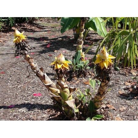 Chinese Dwarf Banana, Golden Lotus Banana Seeds 3.95 - 10