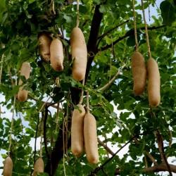 Leberwurstbaum Samen...
