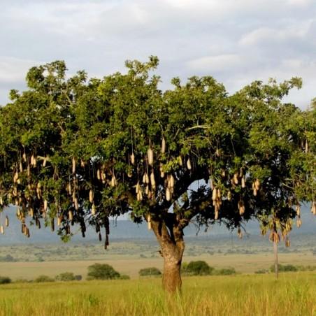 Semillas de Árbol de salchicha (Kigelia africana) 2.049999 - 2