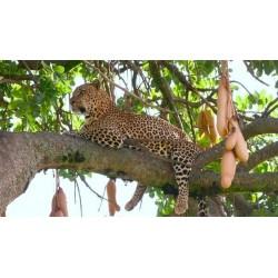 Semillas de Árbol de salchicha (Kigelia africana) 2.049999 - 3