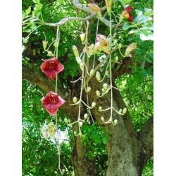 Semillas de Árbol de salchicha (Kigelia africana) 2.049999 - 4