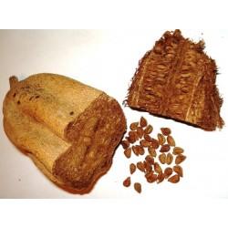 Semillas de Árbol de salchicha (Kigelia africana) 2.049999 - 5