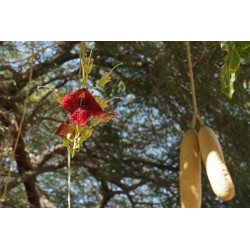 Semillas de Árbol de salchicha (Kigelia africana) 2.049999 - 6
