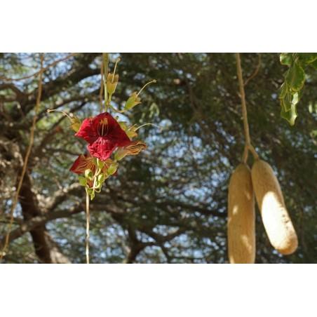 Grodskinnsmelon Piel de Sapo Frön (Cucumis melo)