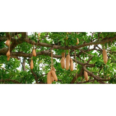 Semillas de Árbol de salchicha (Kigelia africana) 2.049999 - 8