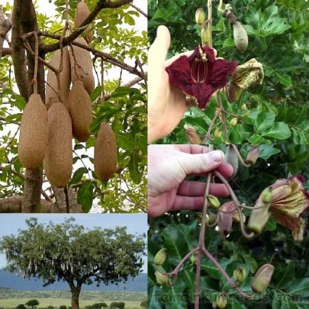 Semillas de Árbol de salchicha (Kigelia africana) 2.049999 - 9