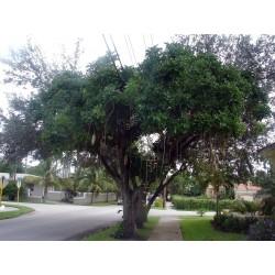 Semillas de Árbol de salchicha (Kigelia africana) 2.049999 - 11