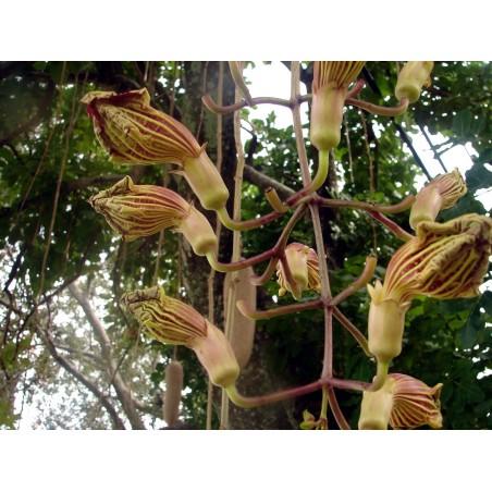 Graines de Maïs 'Vert d'Oaxaca'