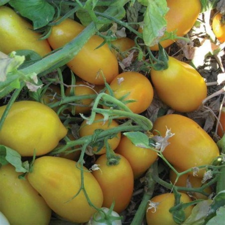Mini San Marzano Yellow and Red Tomato Seeds 1.95 - 5
