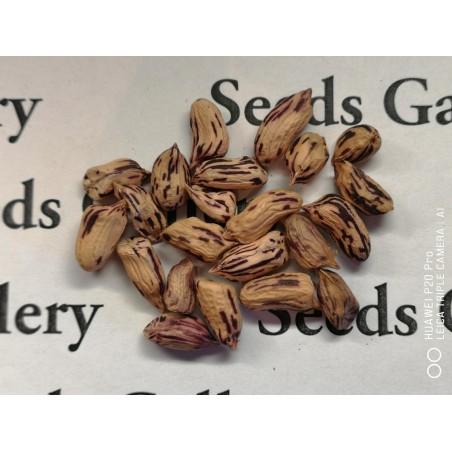 Tiger Peanut Seeds (Arachis Hypogaea) 1.95 - 6