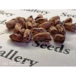 Tiger Peanut Seeds (Arachis Hypogaea) 1.95 - 7