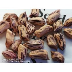 Tiger Peanut Seeds (Arachis Hypogaea) 1.95 - 8